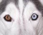 Husky-redeye